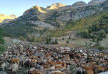 El ganado reunidoen la cabaña del Tormo momentos antes de iniciarse la tría de este año (Foto: Félix Jordán de Urriés)